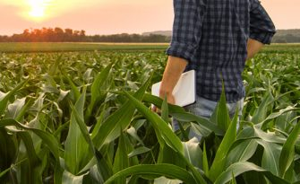 A man stands in a corn field as the sun sets